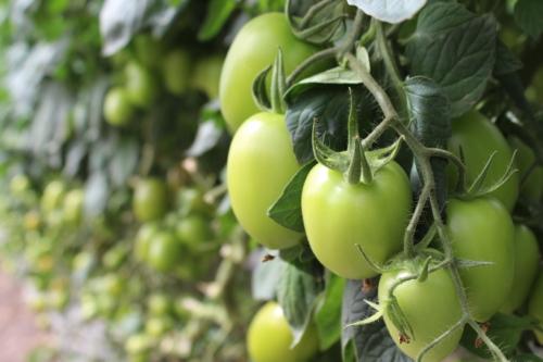 Foto de tomate en fase de desarrollo